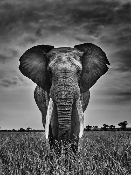 - MEMOIRES D'ELEPHANT
