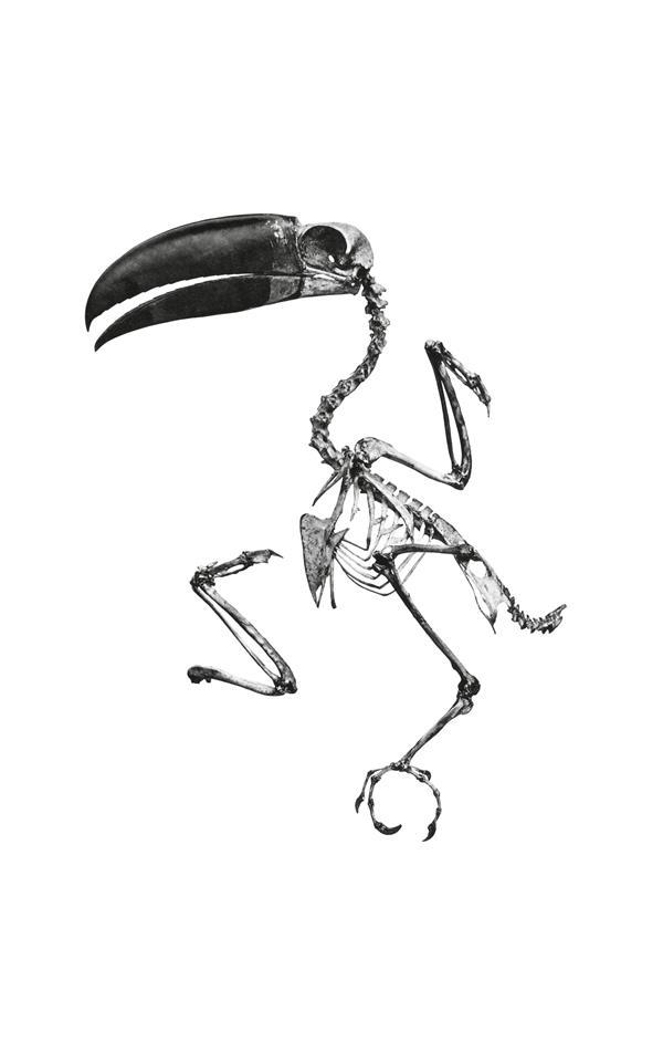 Toucan fantôme