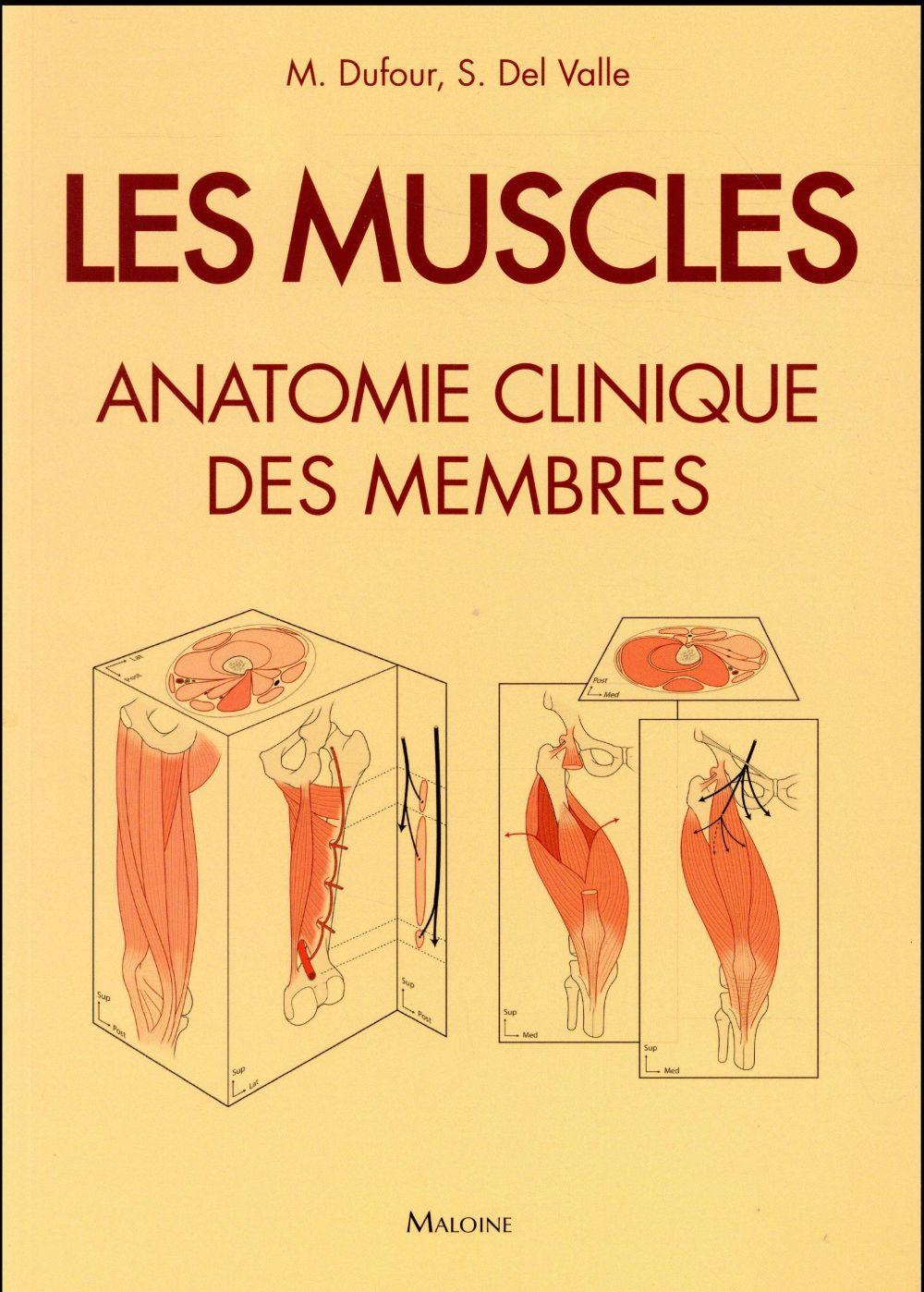 Les muscles ; anatomie clinique des membres