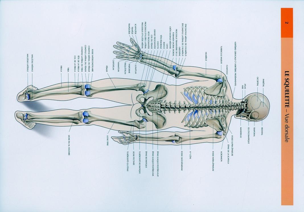 Schemas De Travaux Pratiques D'Anatomie ; Planches D'Anatomie T.2 ; Le Squelette Vue Dorsale