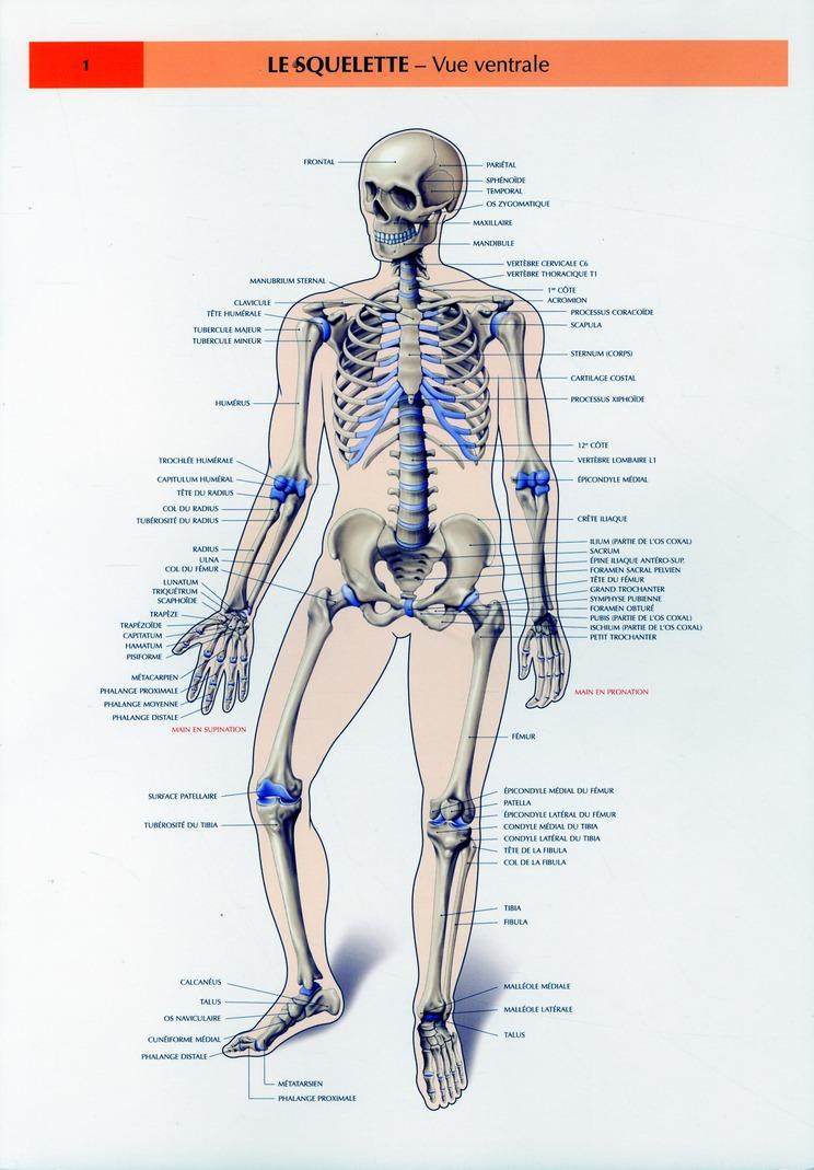 Schemas De Travaux Pratiques D'Anatomie ; Planches D'Anatomie T.1 ; Le Squelette Vue Ventrale