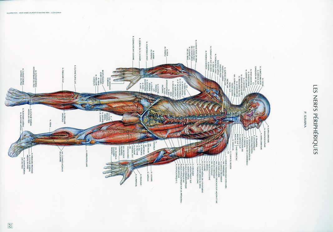 Schemas De Travaux Pratiques D'Anatomie ; Planches D'Anatomie T.22 ; Les Nerfs Peripheriques