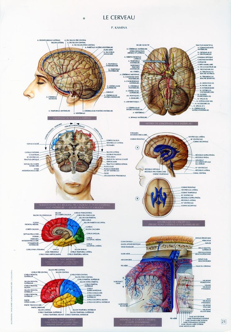 Schemas De Travaux Pratiques D'Anatomie ; Planches D'Anatomie T.21 ; Le Cerveau